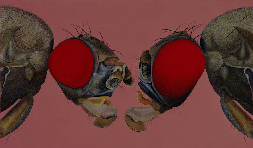 Two Heads of the Fly Drosophila subobscura with Mutation 'quasimodo'