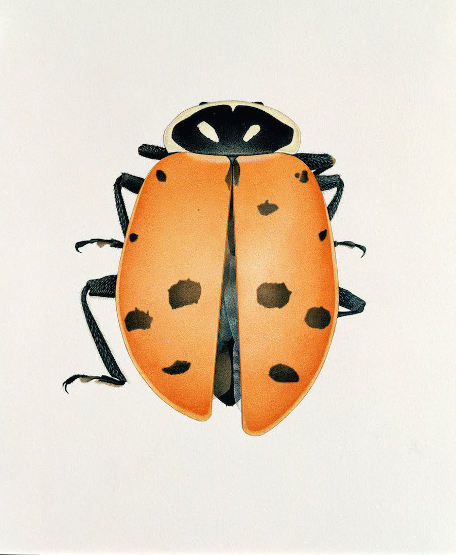 Lady Bird Beetle from Richland, Hanford Area, Washington USA,